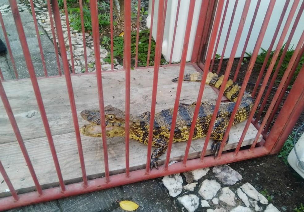 Jacaré de espécie em risco de extinção é encontrado em área de clube em Ipiaú